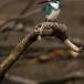 torkooisijsvogel-celulean-kingfisher-03
