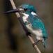 torkooisijsvogel-celulean-kingfisher-04