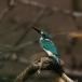 torkooisijsvogel-celulean-kingfisher-05
