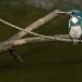 torkooisijsvogel-celulean-kingfisher-06