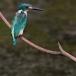 torkooisijsvogel-celulean-kingfisher-07