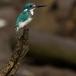 torkooisijsvogel-celulean-kingfisher-08