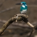 torkooisijsvogel-celulean-kingfisher-09