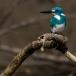 torkooisijsvogel-celulean-kingfisher-10