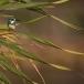 torkooisijsvogel-celulean-kingfisher-11