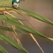torkooisijsvogel-celulean-kingfisher-12