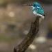 torkooisijsvogel-celulean-kingfisher-13