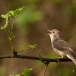 tuinfluiter-garden-warbler-02
