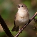 tuinfluiter-garden-warbler-03