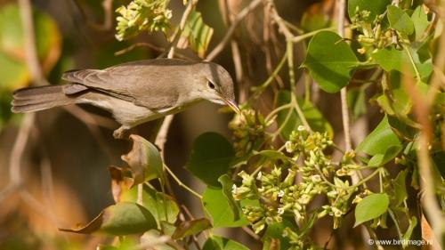 vale-spotvogel-eastern-olivaceous-warbler-05