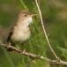 vale-spotvogel-eastern-olivaceous-warbler-02
