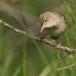 vale-spotvogel-eastern-olivaceous-warbler-03