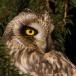 velduil-short-eared-owl-02