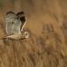 velduil-short-eared-owl-07