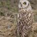 velduil-short-eared-owl-17
