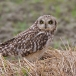 velduil-short-eared-owl-19