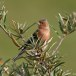 Vink - Common Chaffinch03