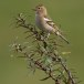 Vink - Common Chaffinch04