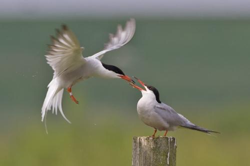visdief-common-tern-15