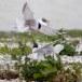 Visdief - Common tern 42