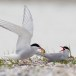 Visdief - Common tern 43