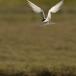 visdief-common-tern-06