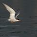visdief-common-tern-07