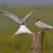 visdief-common-tern-09