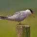 visdief-common-tern-11
