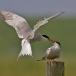 visdief-common-tern-13