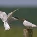 visdief-common-tern-14