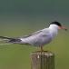 visdief-common-tern-16