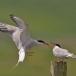 visdief-common-tern-17