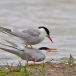 visdief-common-tern-20
