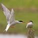 visdief-common-tern-23