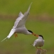 visdief-common-tern-24