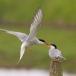visdief-common-tern-25