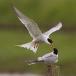 visdief-common-tern-26