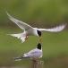 visdief-common-tern-27