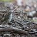 Vlekvleugellijster-Spot-winged-thrush-02