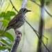 Vlekvleugellijster-Spot-winged-thrush-03