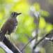 Vlekvleugellijster-Spot-winged-thrush-04