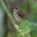 Vlekvleugellijster-Spot-winged-thrush-05