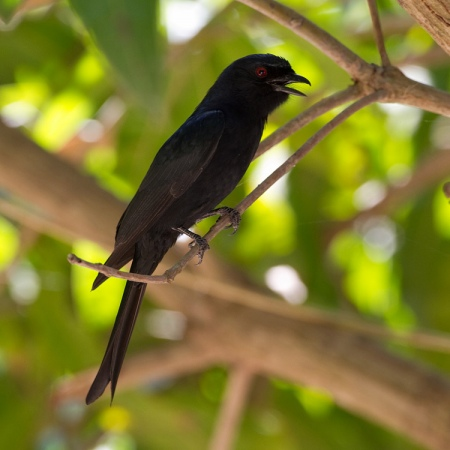 vorkstaartdrongo-fork-tailed-drongo-01