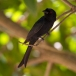 vorkstaartdrongo-fork-tailed-drongo-02