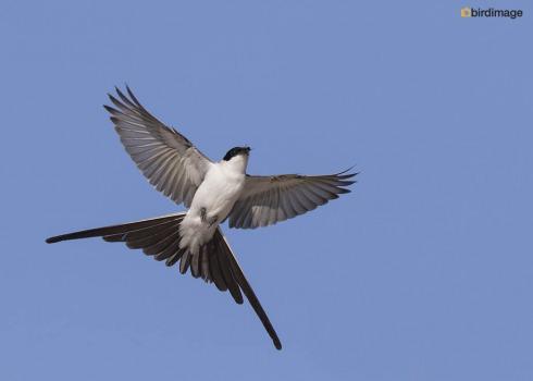 Vorkstaarttiran_Fork-tailed Flycatcher 04