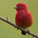 vuurvink-red-billed-firefinch-01