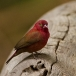 vuurvink-red-billed-firefinch-03