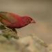 vuurvink-red-billed-firefinch-04
