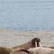 walrus-walrus-02